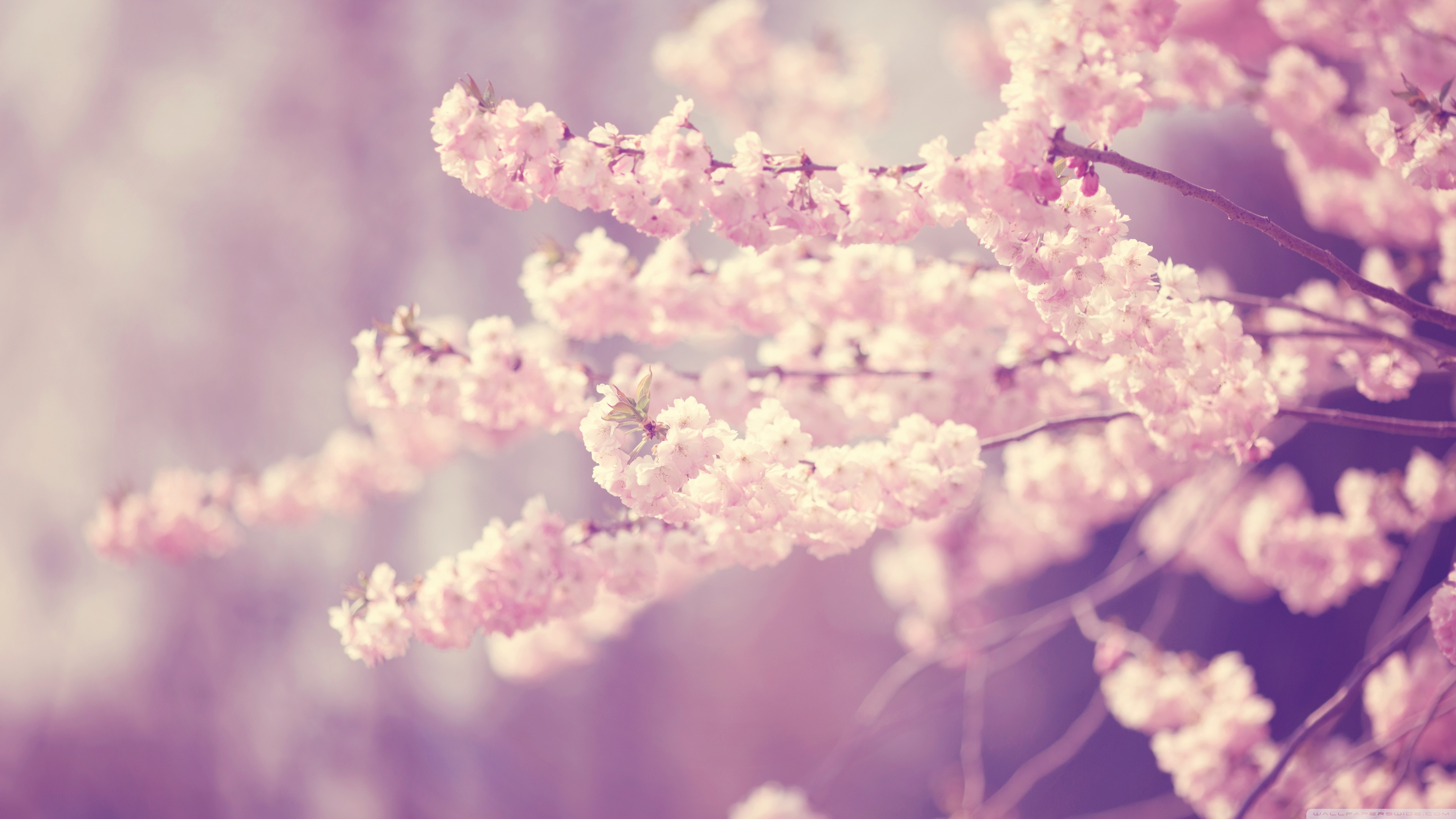 Fullsize Of Cherry Blossom Wallpaper