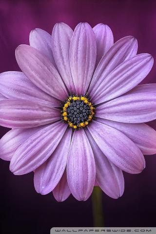 Smartphone Wallpapers Hd Free Purple Daisy Flower 4k Hd Desktop Wallpaper For 4k Ultra