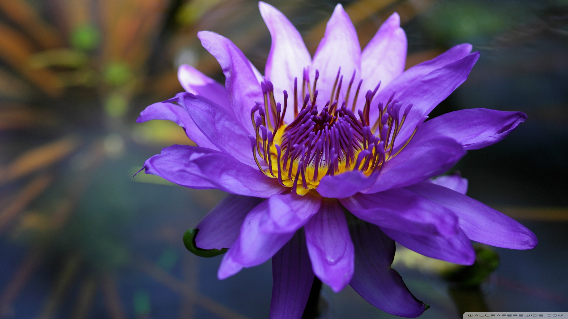 Hd Lavender Wallpaper Purple Water Lily 4k Hd Desktop Wallpaper For 4k Ultra Hd