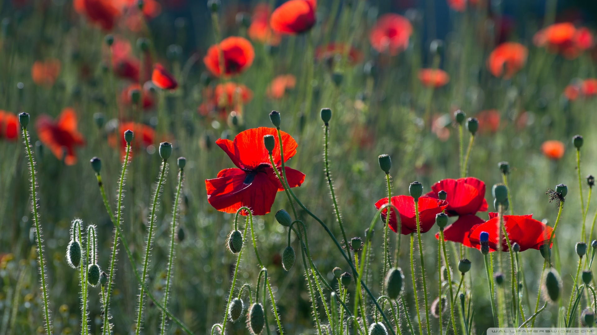 Hd Wallpapers For Mobile Free Download 480x800 Red Poppies 4k Hd Desktop Wallpaper For 4k Ultra Hd Tv