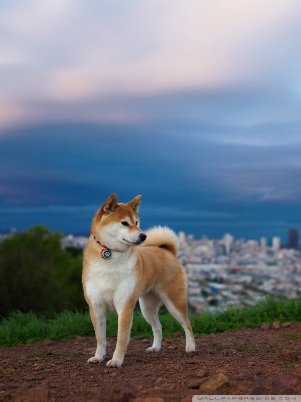 Cute Pet Animals Wallpapers Shiba Inu 4k Hd Desktop Wallpaper For 4k Ultra Hd Tv