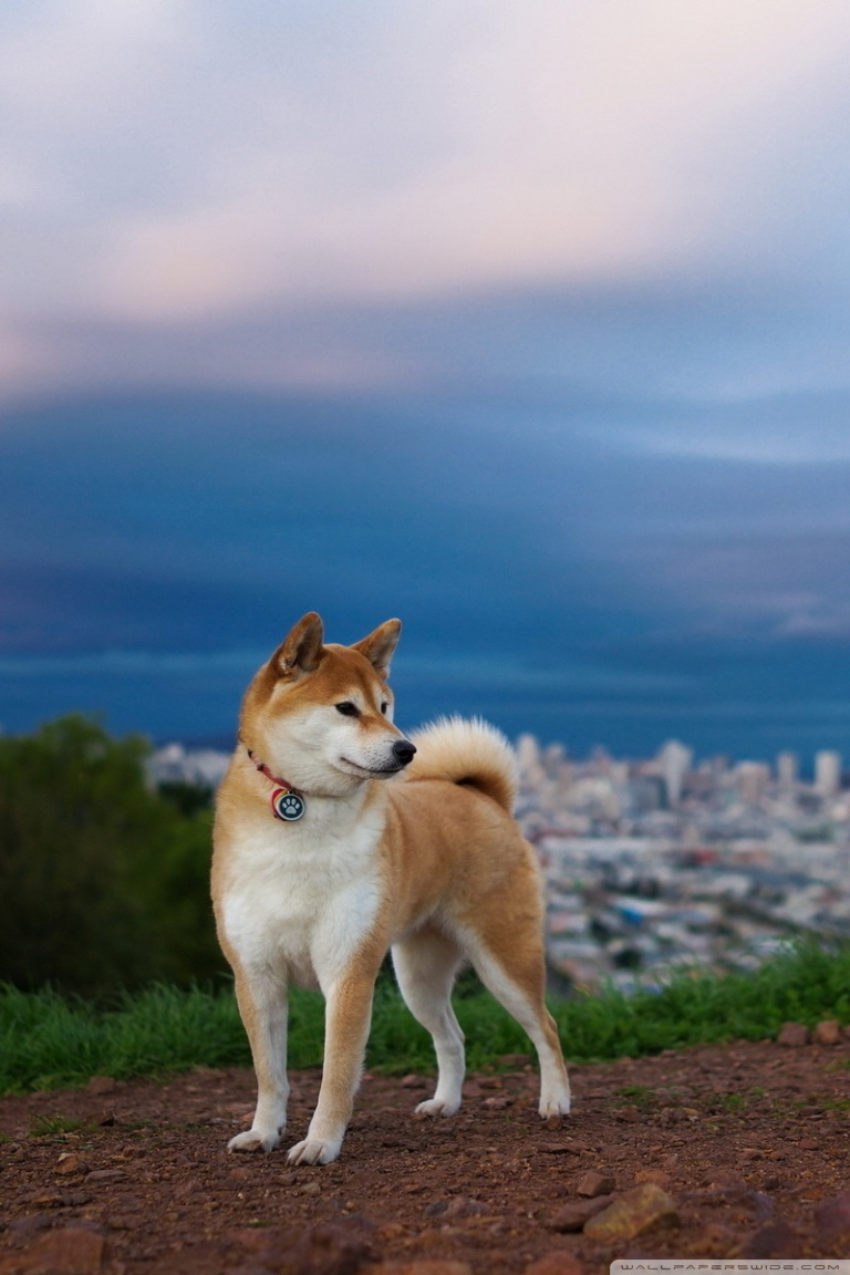 Husky Dog Hd Wallpapers Shiba Inu 4k Hd Desktop Wallpaper For 4k Ultra Hd Tv