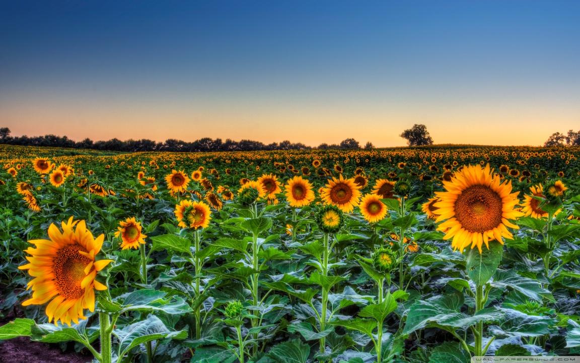 Fall Sunflowers Wallpaper Sunflower Field Sunset 4k Hd Desktop Wallpaper For 4k