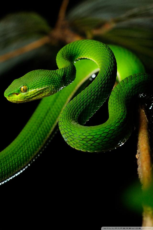 3d Wallpapers Wild Animals White Lipped Pit Viper Snake 4k Hd Desktop Wallpaper For
