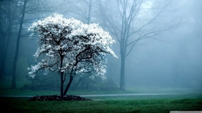 White Magnolia Tree 4K HD Desktop Wallpaper for 4K Ultra HD TV • Wide & Ultra Widescreen ...