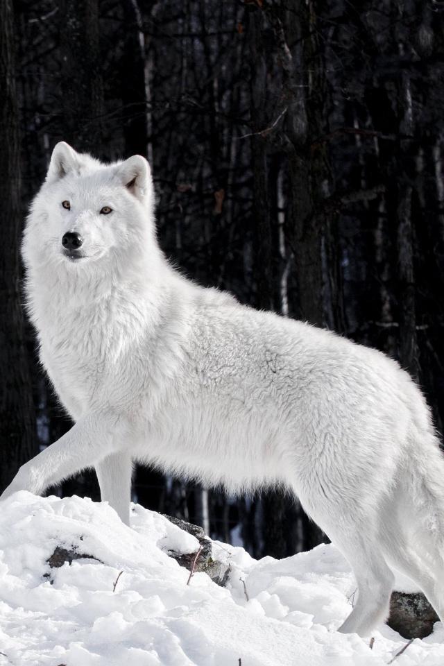Beautiful Girl Photo Wallpaper Download White Wolf 4k Hd Desktop Wallpaper For 4k Ultra Hd Tv