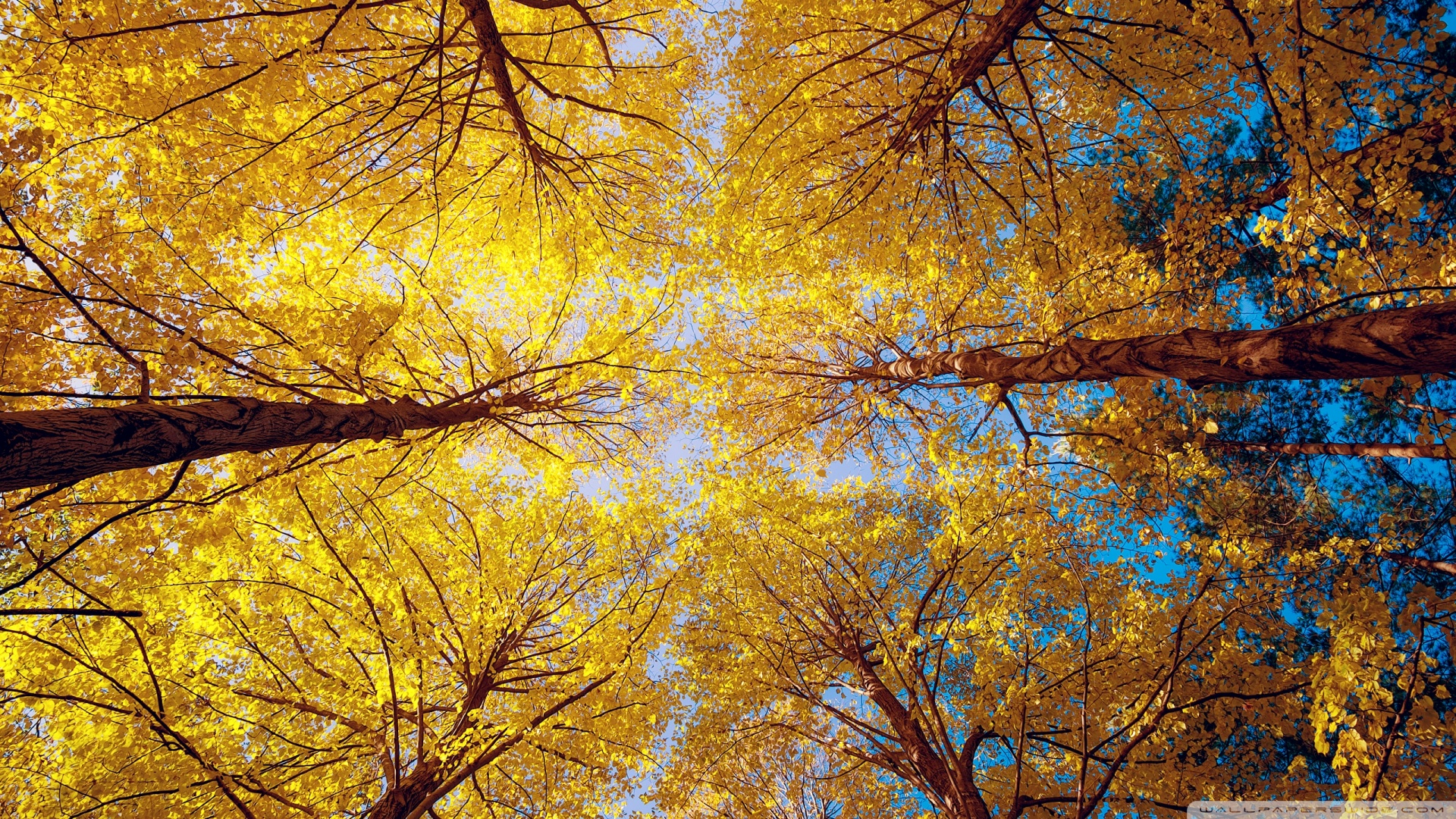 Fall Leaves Hd Mobile Wallpaper Yellow Trees 4k Hd Desktop Wallpaper For 4k Ultra Hd Tv