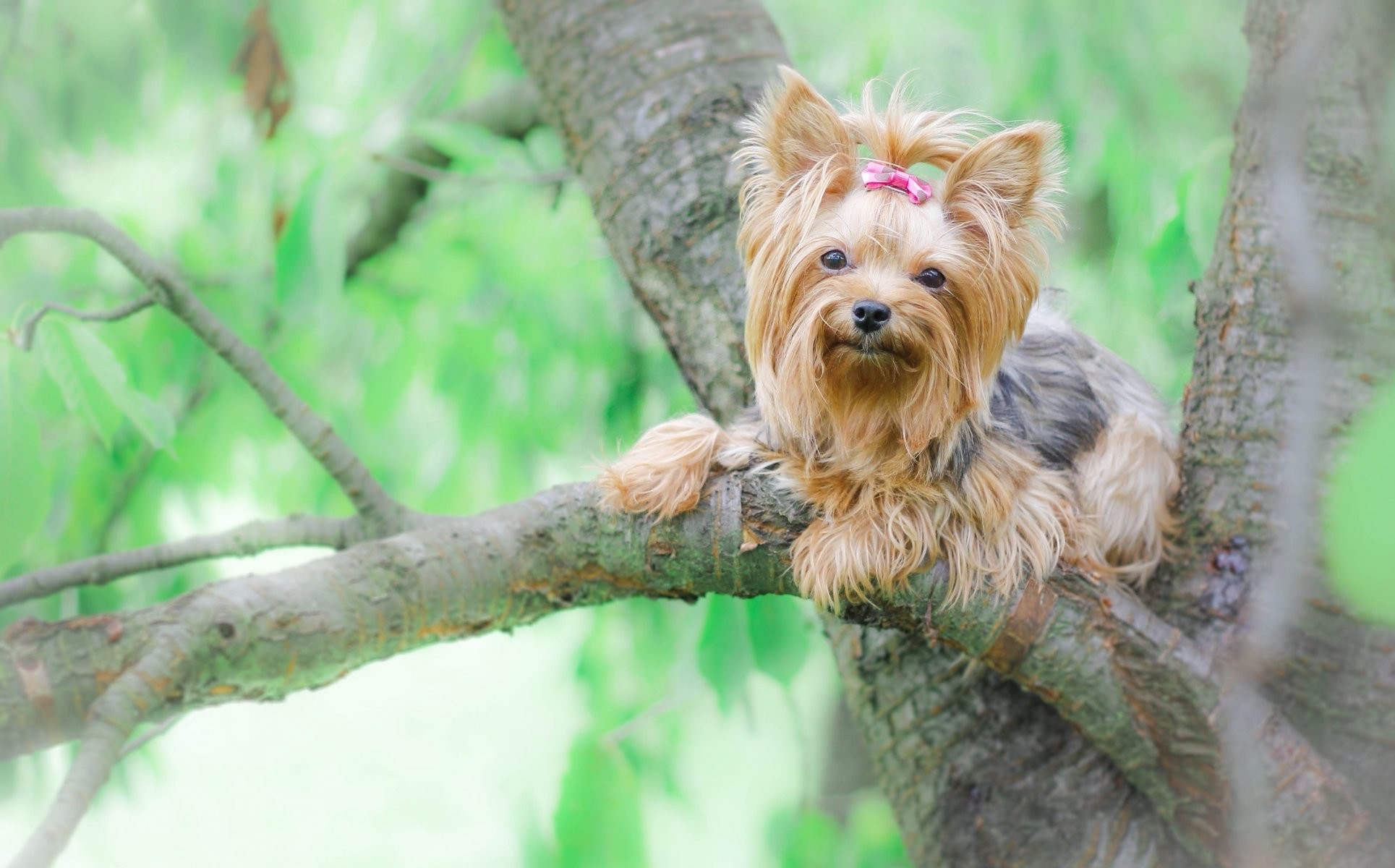 Cute Yorkie Wallpaper Yorkshire Terrier Wallpaper 183 ①