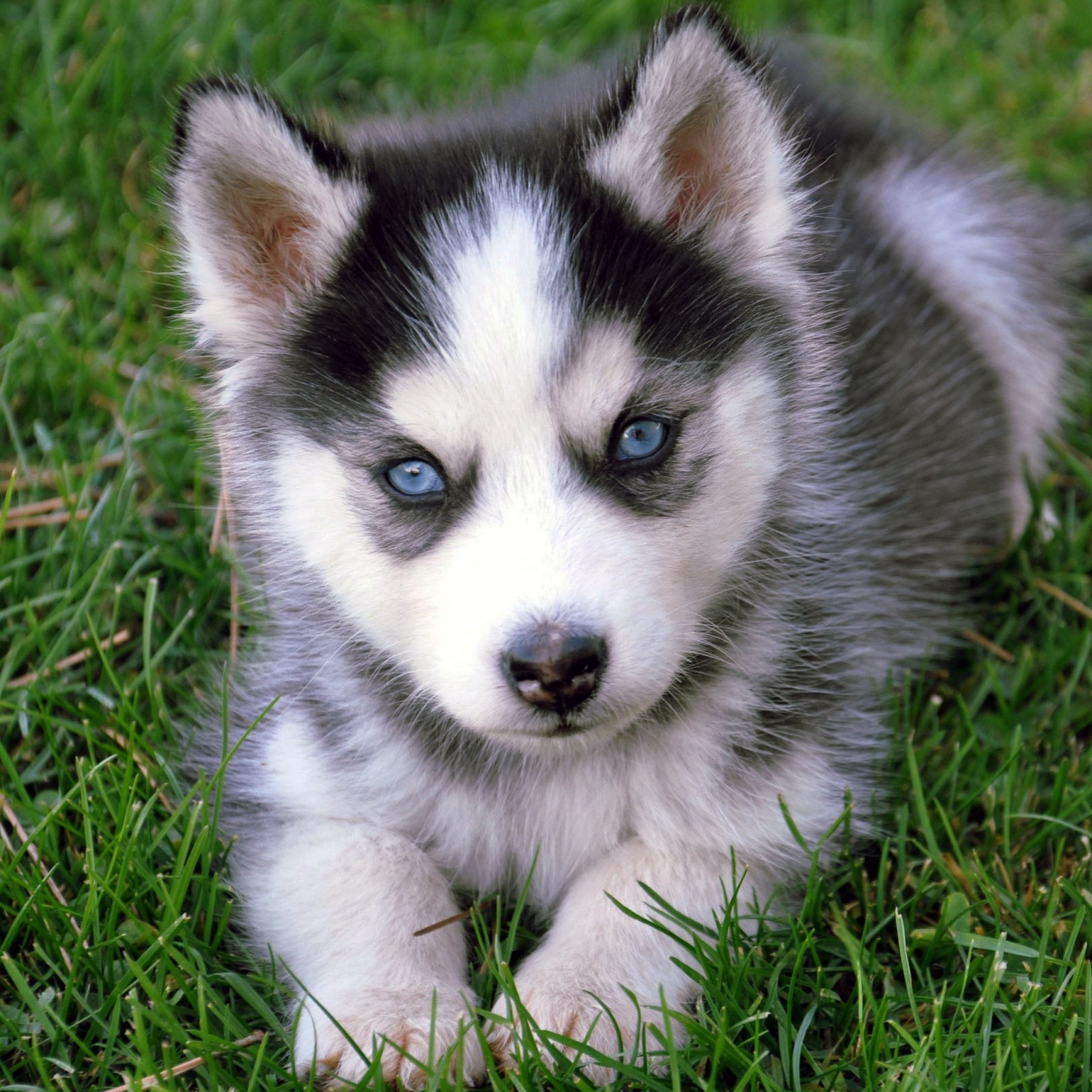 Husky Dog Hd Wallpapers Baby Wolf Wallpaper 183 ①