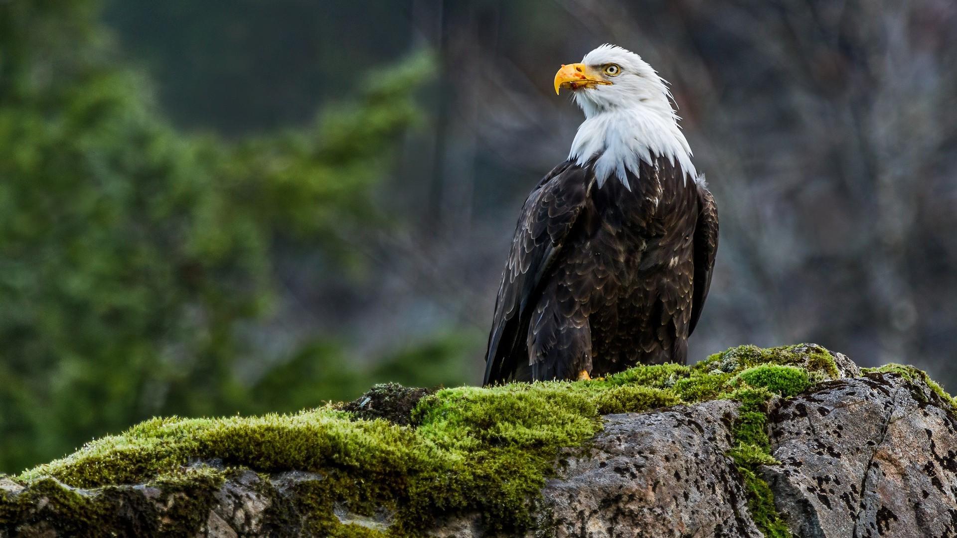 Bald Eagle Wallpaper 1