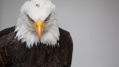 Bald Eagle Wallpaper ·①