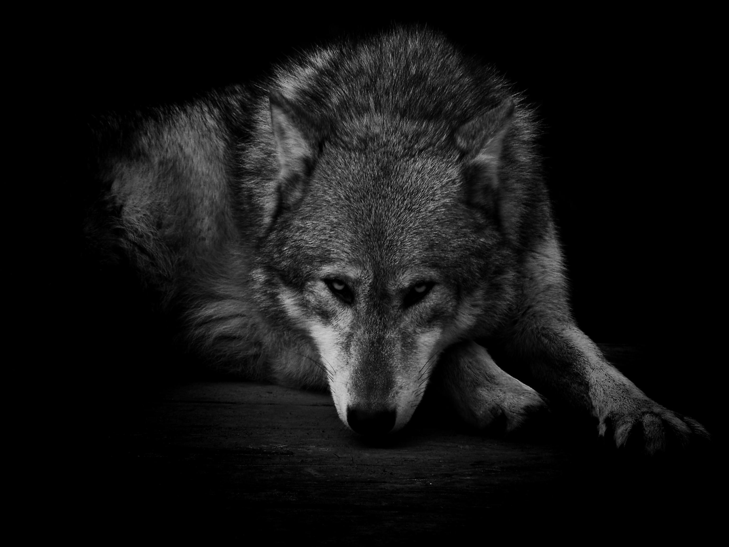 Black Wolf Wallpaper Black Wolf Wallpapers ①