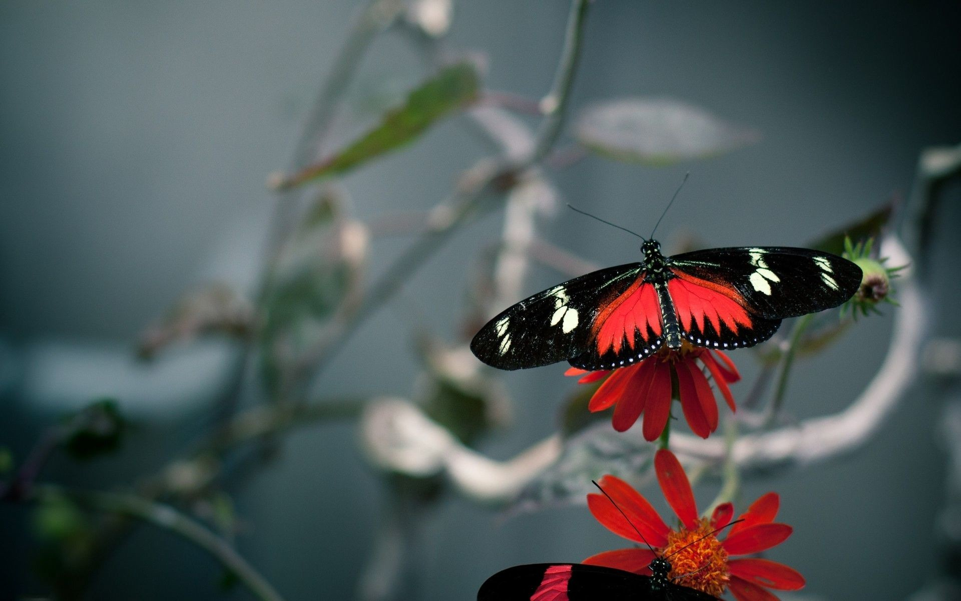 Roter Schmetterling Red Butterfly Wallpaper ·① Wallpapertag