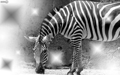 Zebra background ·① Download free stunning HD wallpapers for desktop computers and smartphones ...
