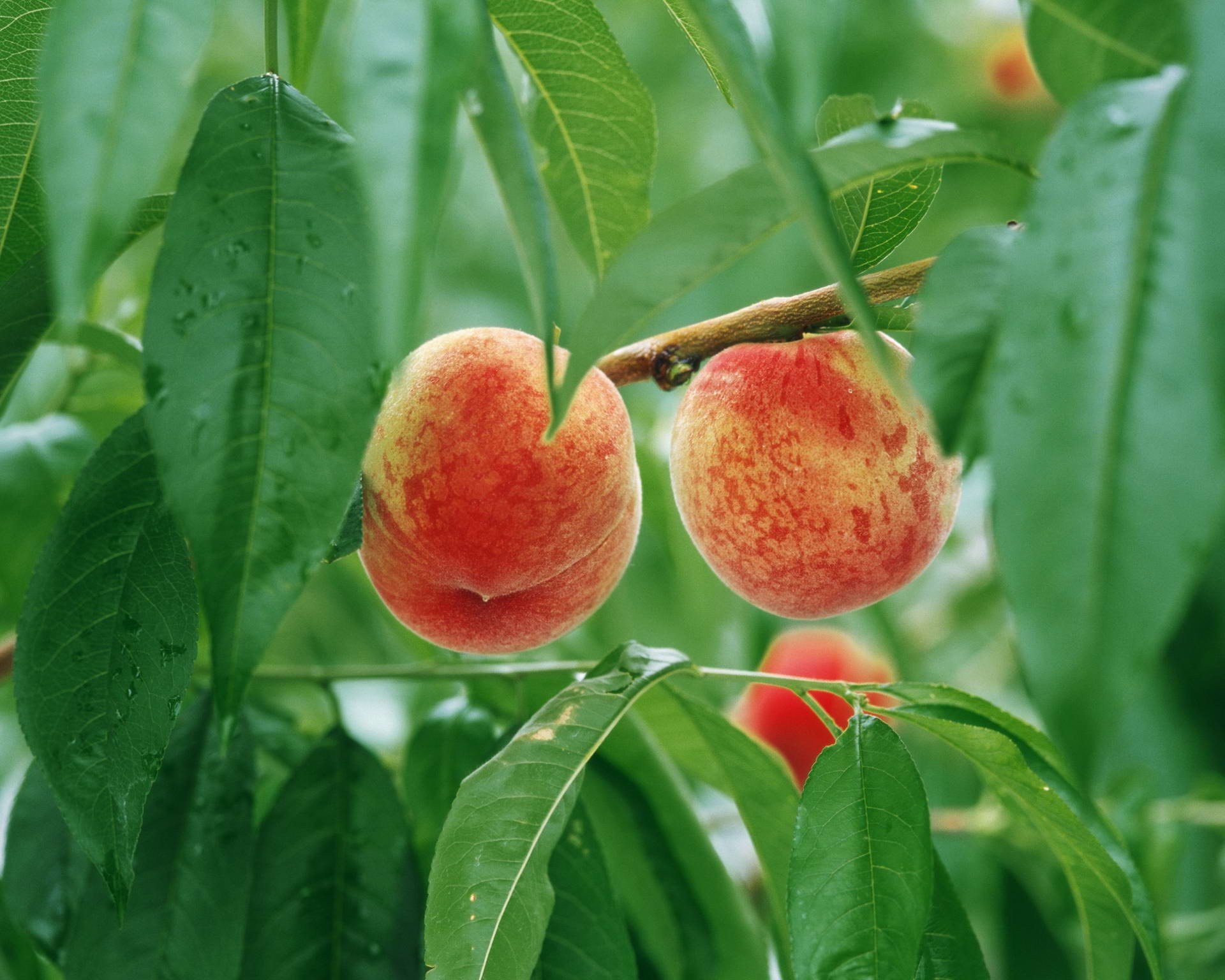Chevron Iphone 5 Wallpaper Peach Background 183 ① Download Free Beautiful Full Hd