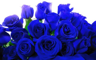 Blue Roses Wallpaper ·①