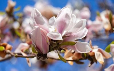 Magnolia Wallpaper ·① WallpaperTag