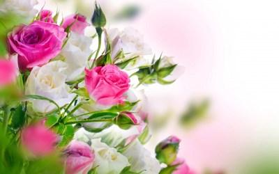 White Rose Wallpaper ·①