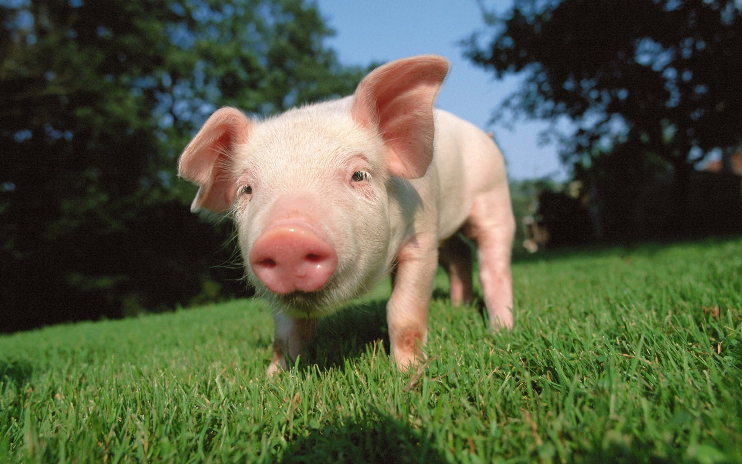 Cute Pig Wallpaper Hd Cute Pig Wallpaper 183 ①