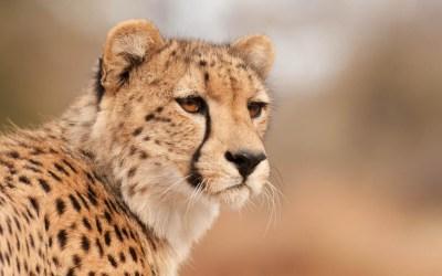 Cheetah Wallpaper HD ·①