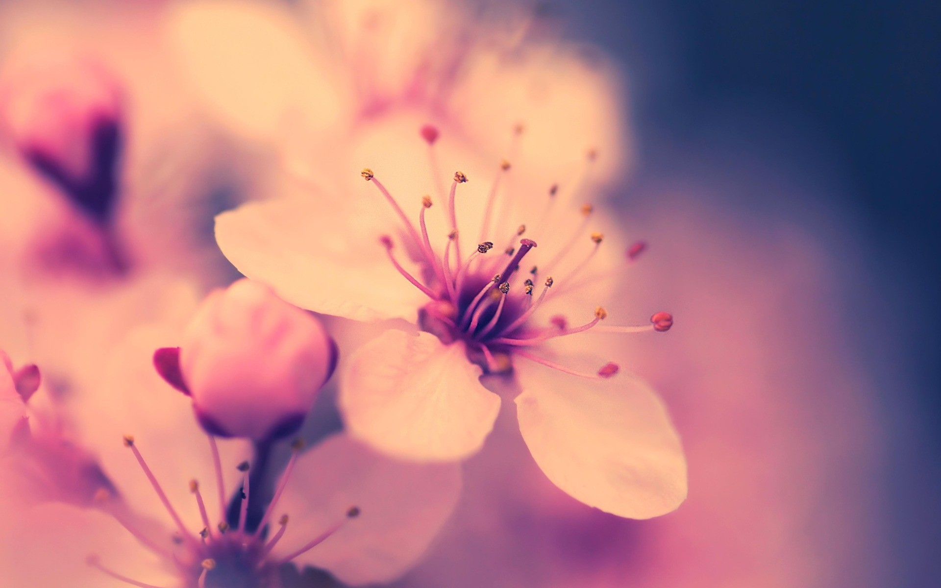 Wallpapers Cherry Blossom Flower Wallpapers Wallpaper Tag