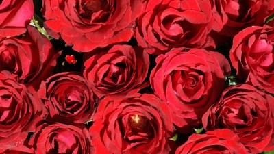 Rainbow Roses Background ·①