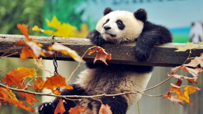 Panda Bear Wallpaper ·①
