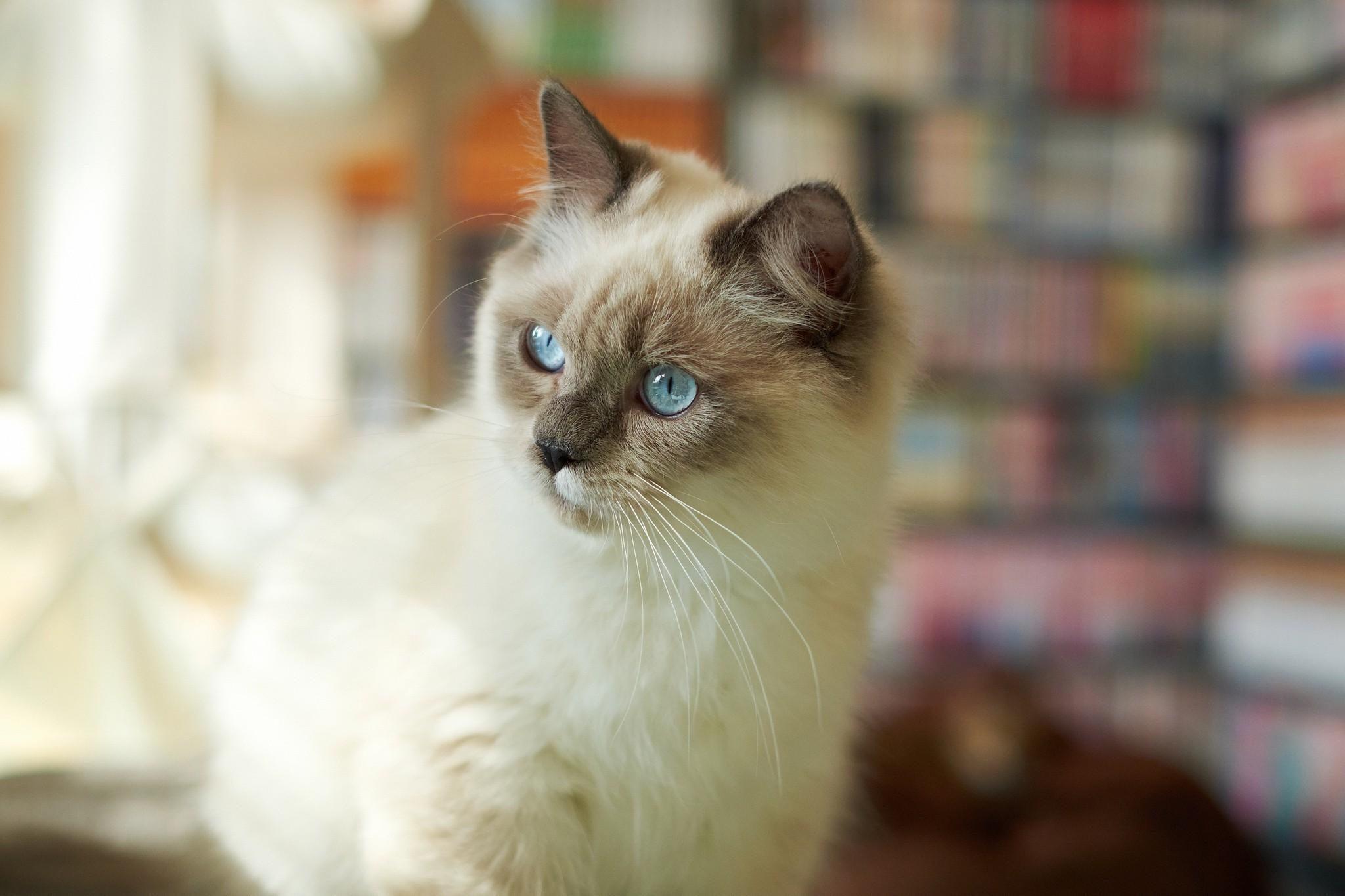 Cute Kitten Wallpaper For Mobile Siamese Cat Wallpaper 183 ①