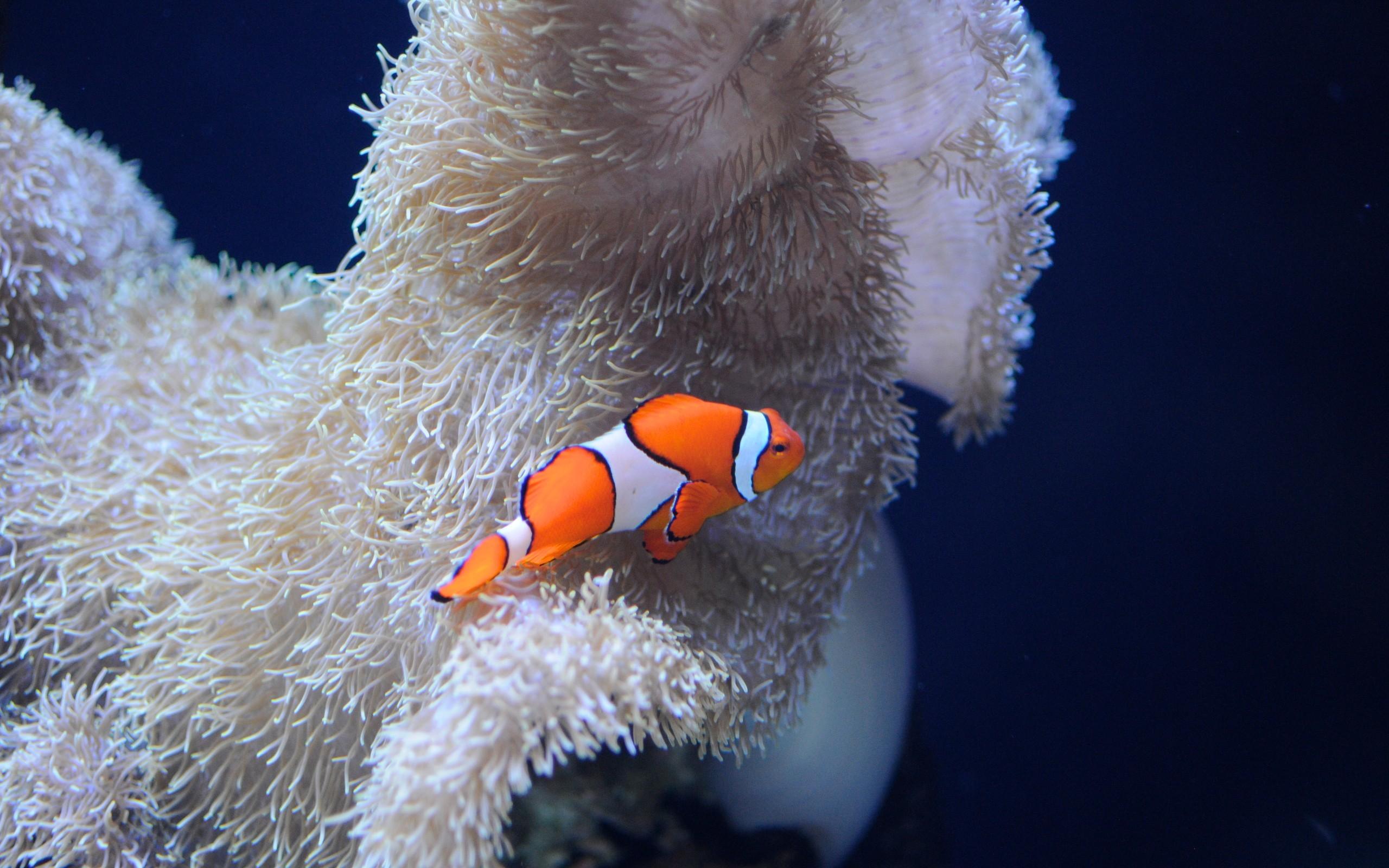 Clown Fish Wallpaper Iphone 6 Plus Clown Fish Wallpaper 183 ①