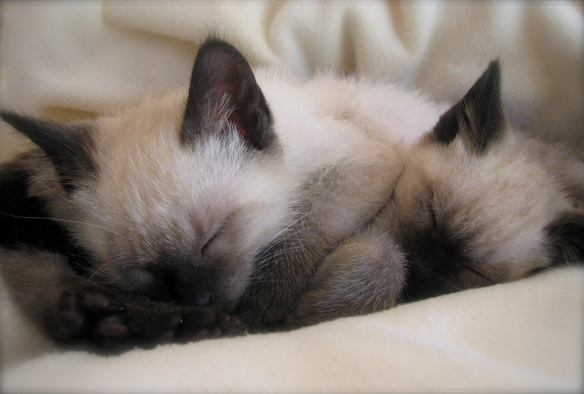 Cute White Kittens With Blue Eyes Wallpaper Siamese Cat Wallpaper 183 ①