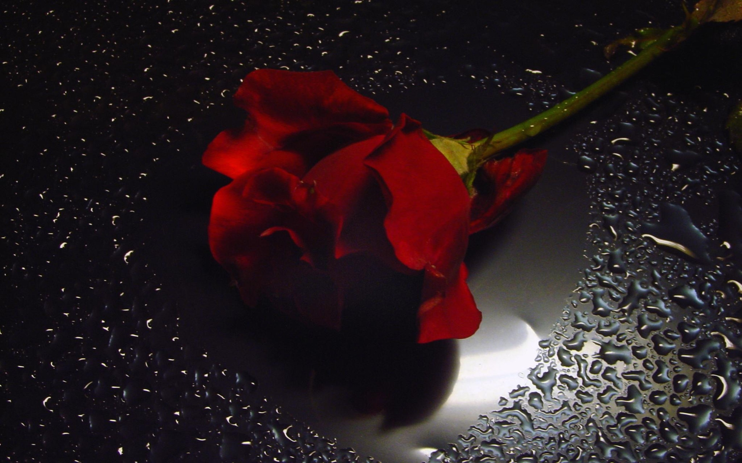 Raindrops Falling On Flowers Wallpaper Red Rose On Black Background 183 ①