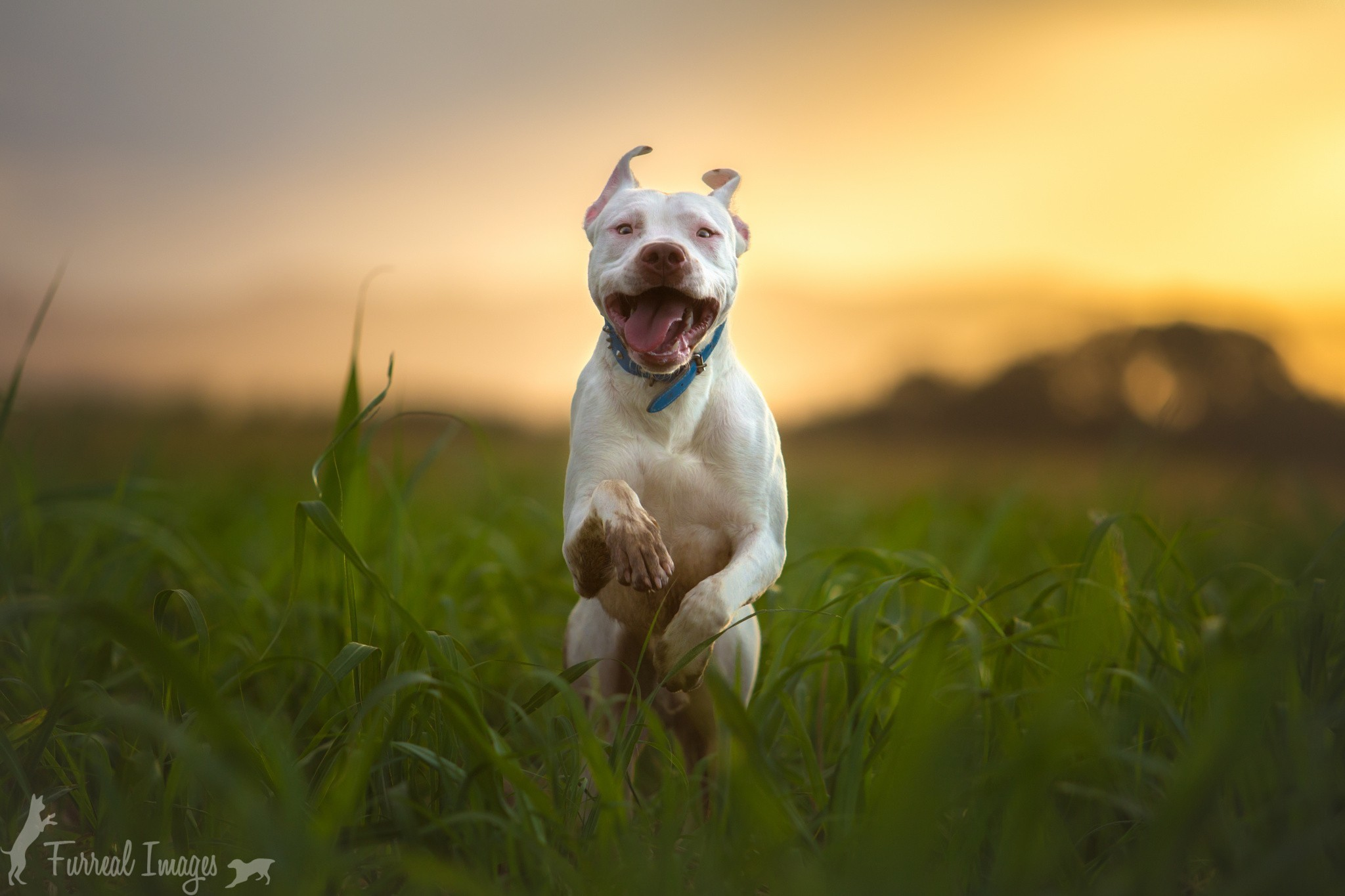 Cute Puppy Live Wallpaper Pitbull Dog Wallpaper 183 ① Wallpapertag