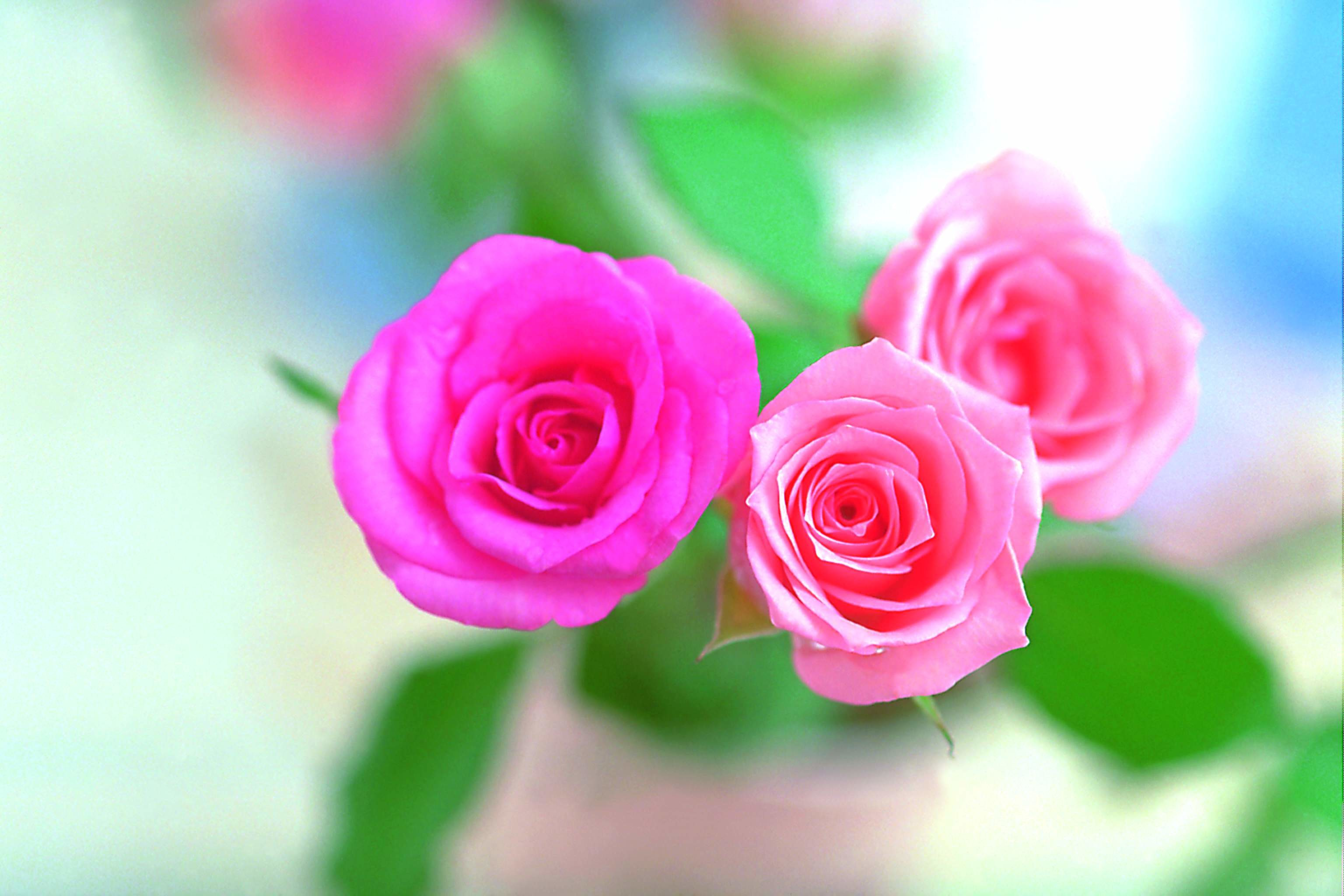 Rose Flower Wallpaper Hd 1