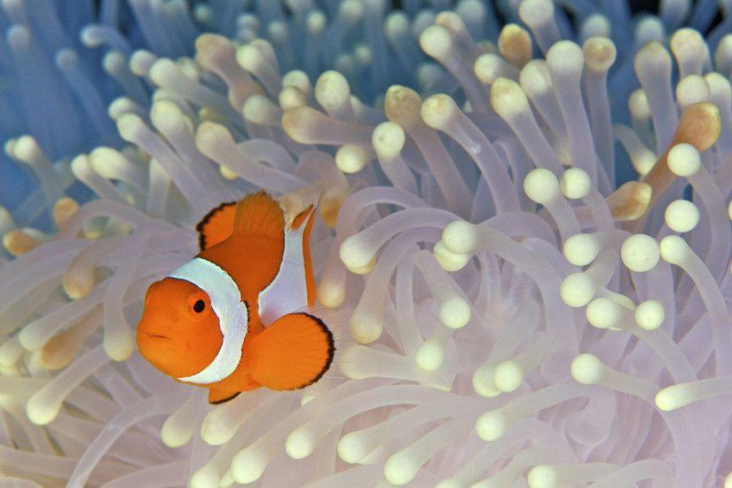 Apple Clownfish Wallpaper Iphone X Clown Fish Wallpaper 183 ①