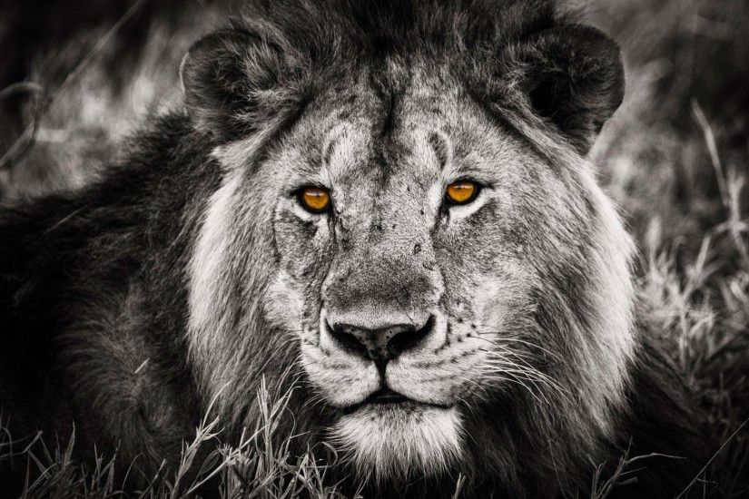Angry Lion Wallpaper Hd 1080p Angry Lion Eyes Wallpaper 183 ①