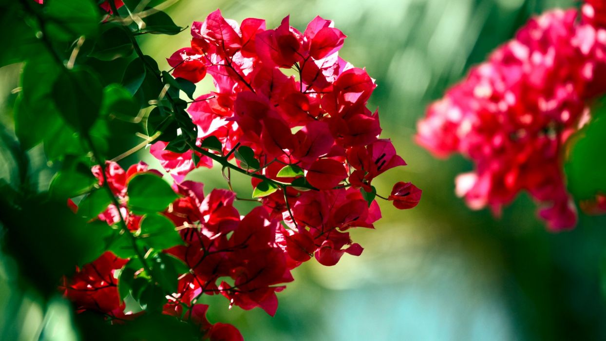 Bougainvillea Wallpaper Nature Flowers Bougainvillea Wallpaper 1920x1080 206371
