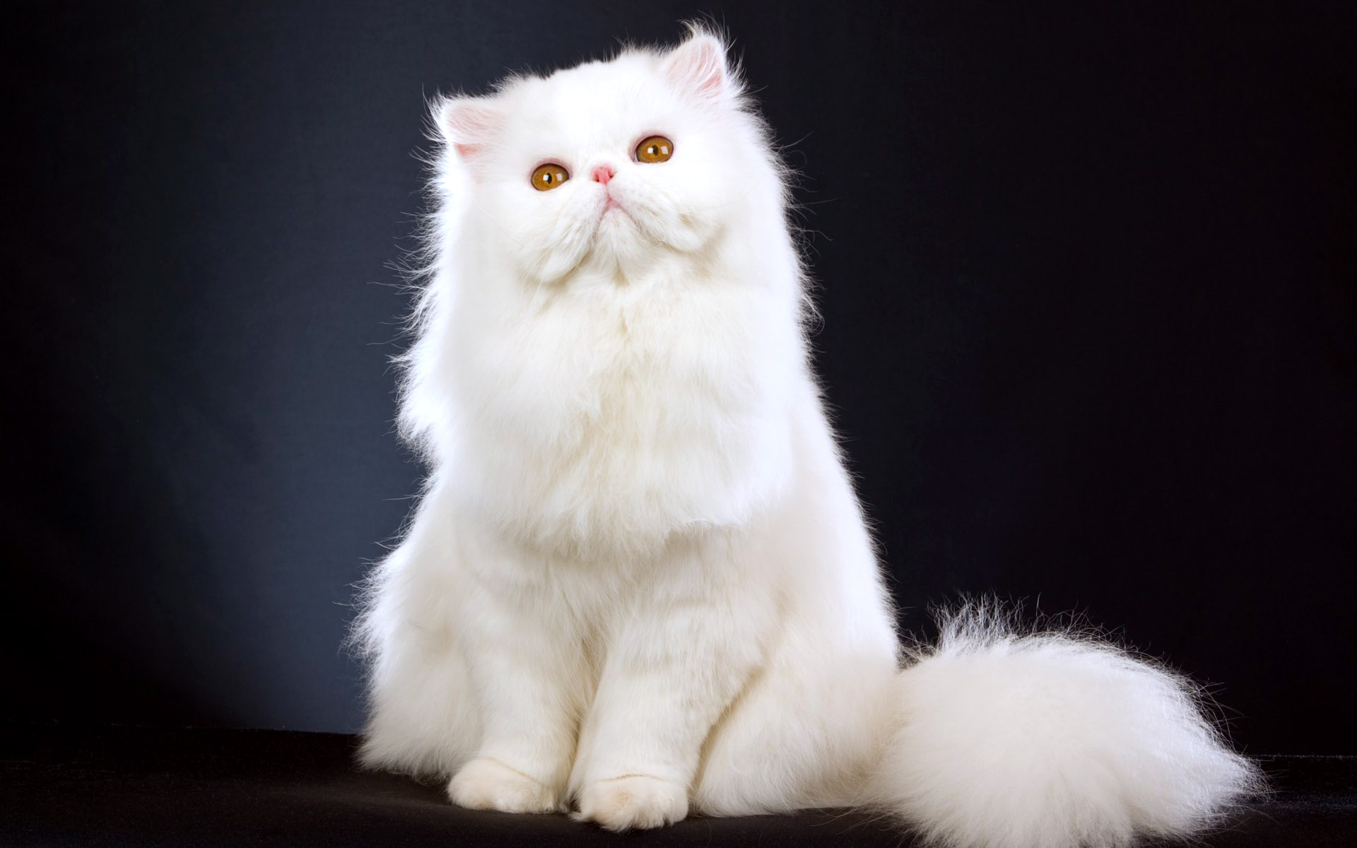 3d Game Wallpaper For Mobile White Persian Cat Action Wallpapers Hd Desktop And