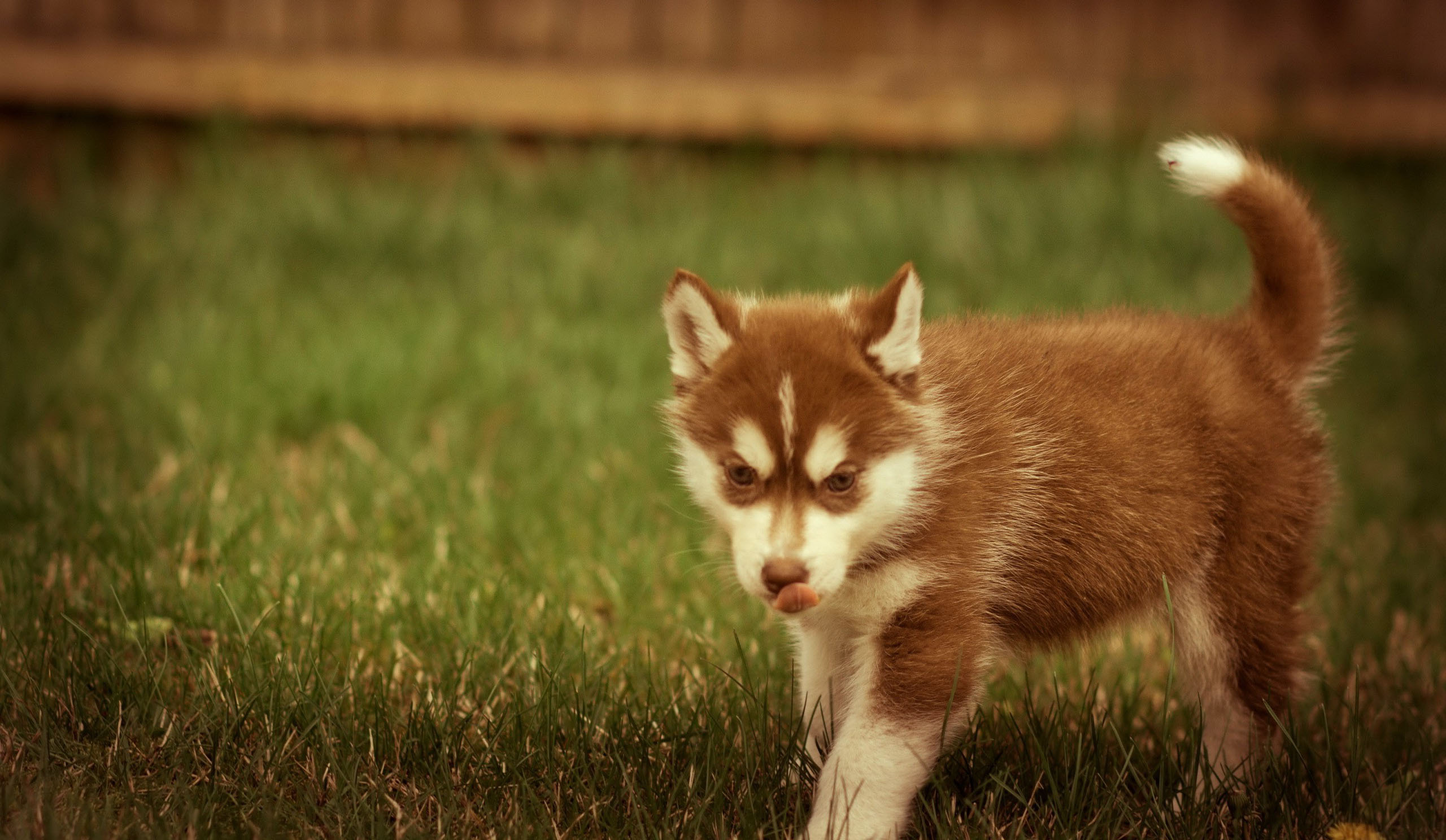 3d Wallpapers Wild Animals Baby Husky Wallpapers Hd Desktop And Mobile Backgrounds
