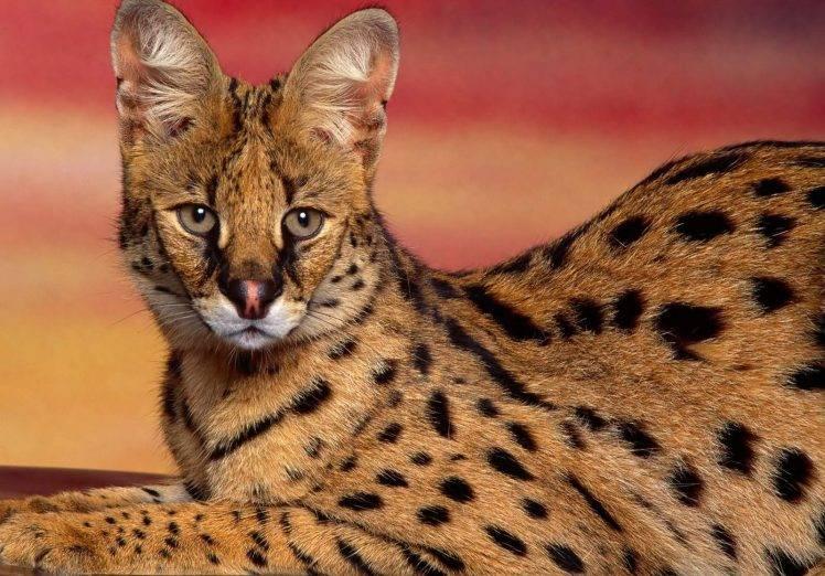 Animal Wild Wallpaper Hd 3d Dangerous Serval Cat Wallpapers Hd Desktop And Mobile