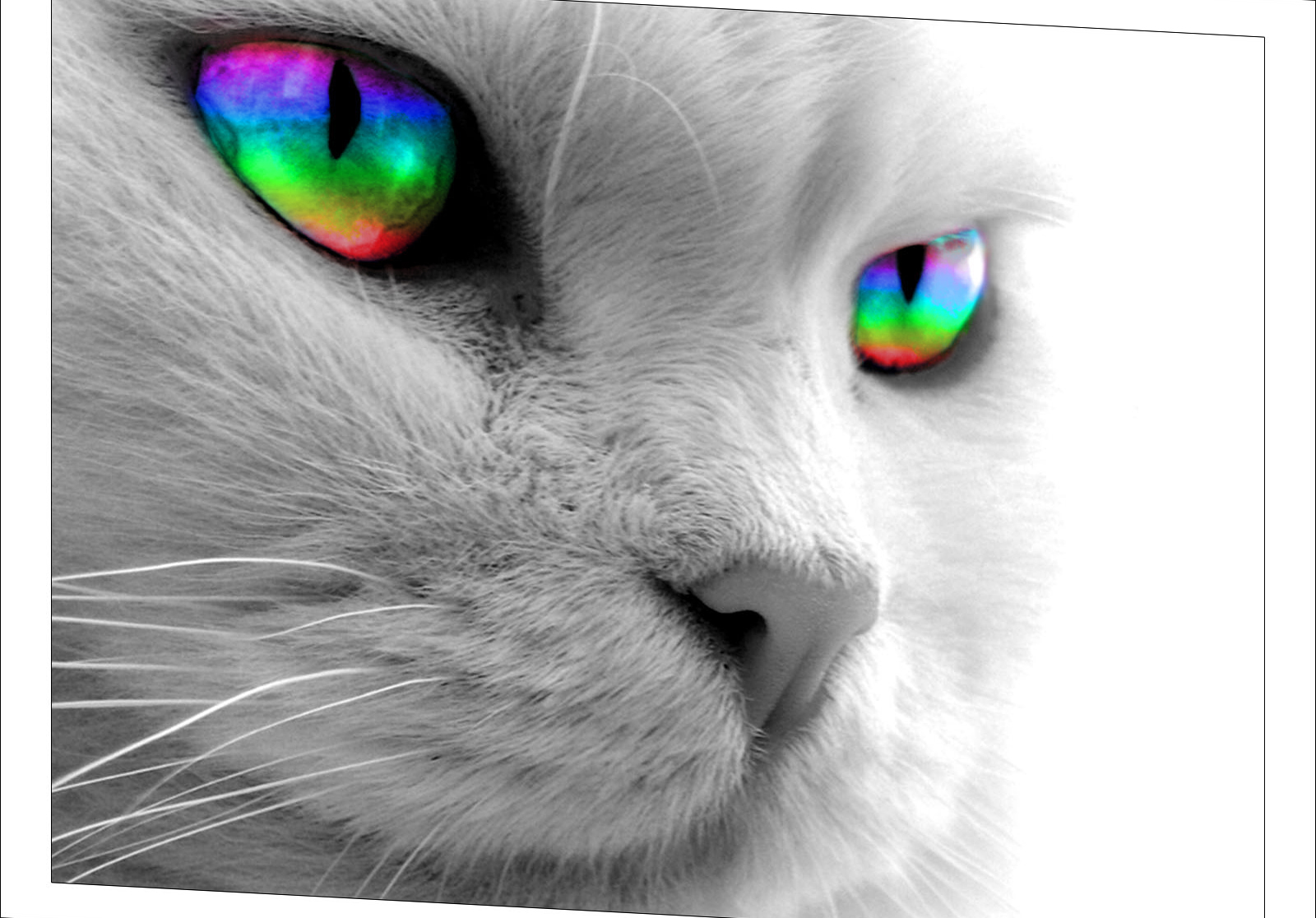 Cute White Kittens With Blue Eyes Wallpaper Grayscale Cat Wallpaper But Rainbow Eyes Wallpapers Hd