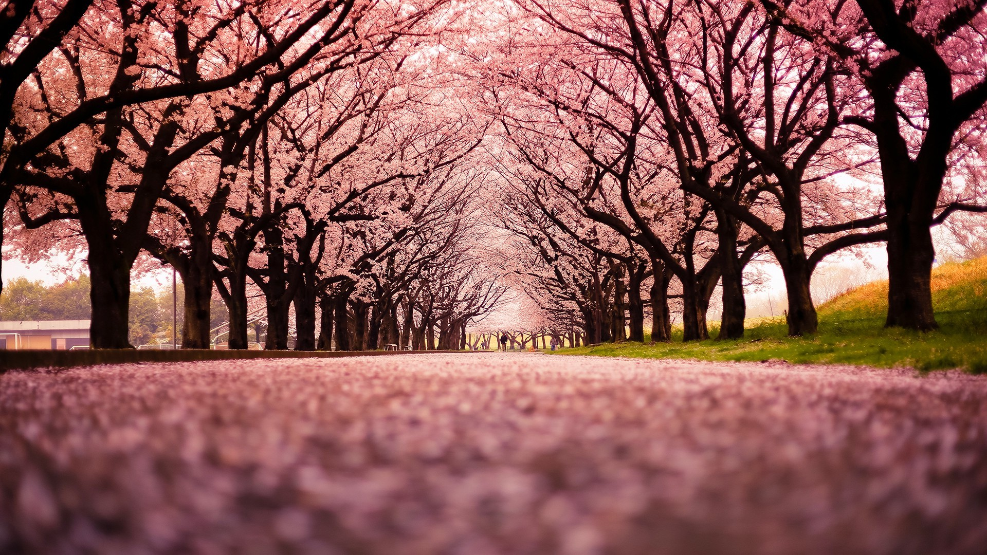 1600x900 Wallpapers Hd Cars Landscape Cherry Blossom Trees Path Nature Wallpapers