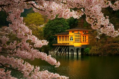 cherry Blossom, Trees, Spring, Lake, Flowers, Japan, Nature, Landscape, Pink, Gold, Green ...