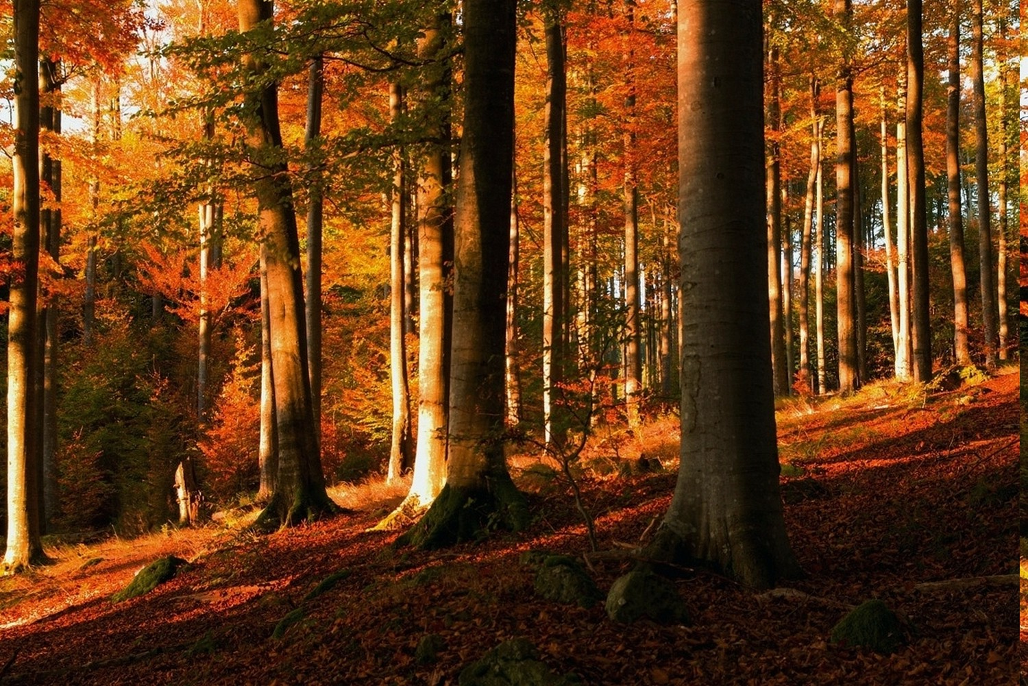 Fall Woodsy Pc Wallpaper Sunset Forest Fall Trees Leaves Hill Moss Shrubs