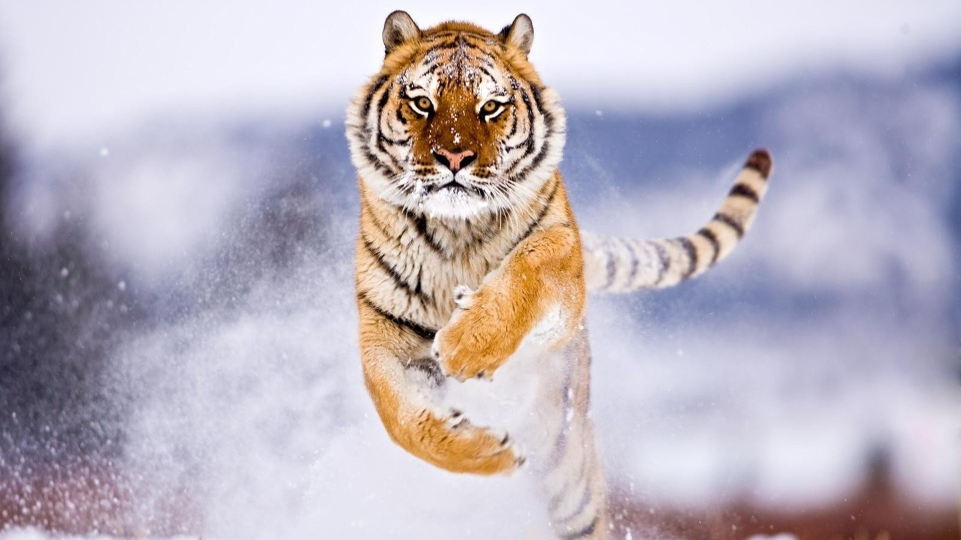 Cute Bengal Wallpapers Hd 1366x768 Tiger Snow Attack Animals Wallpapers Hd Desktop And
