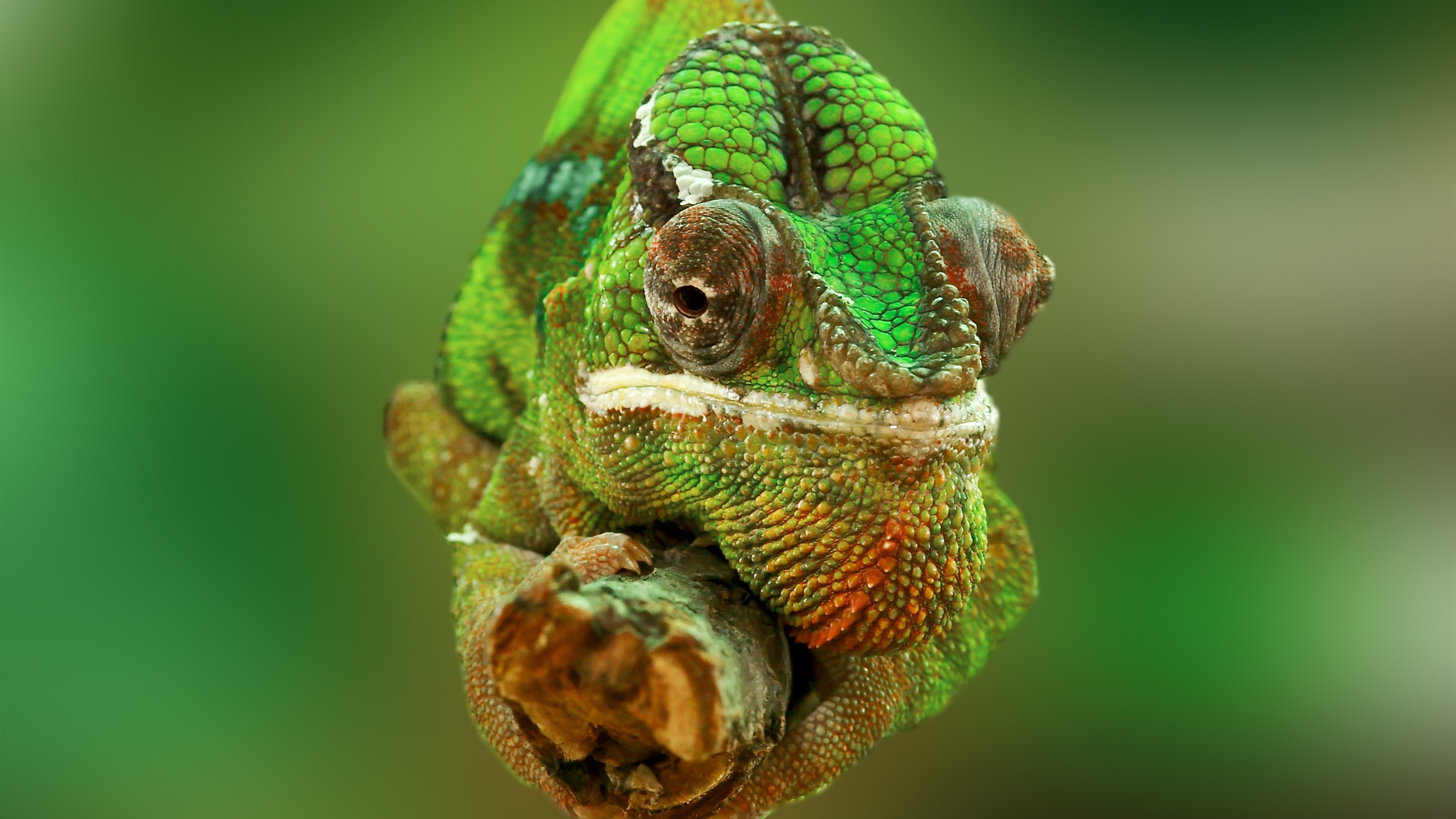 4k Wallpaper 3d National Geographic Animals Chameleons Reptile Wallpapers Hd Desktop And