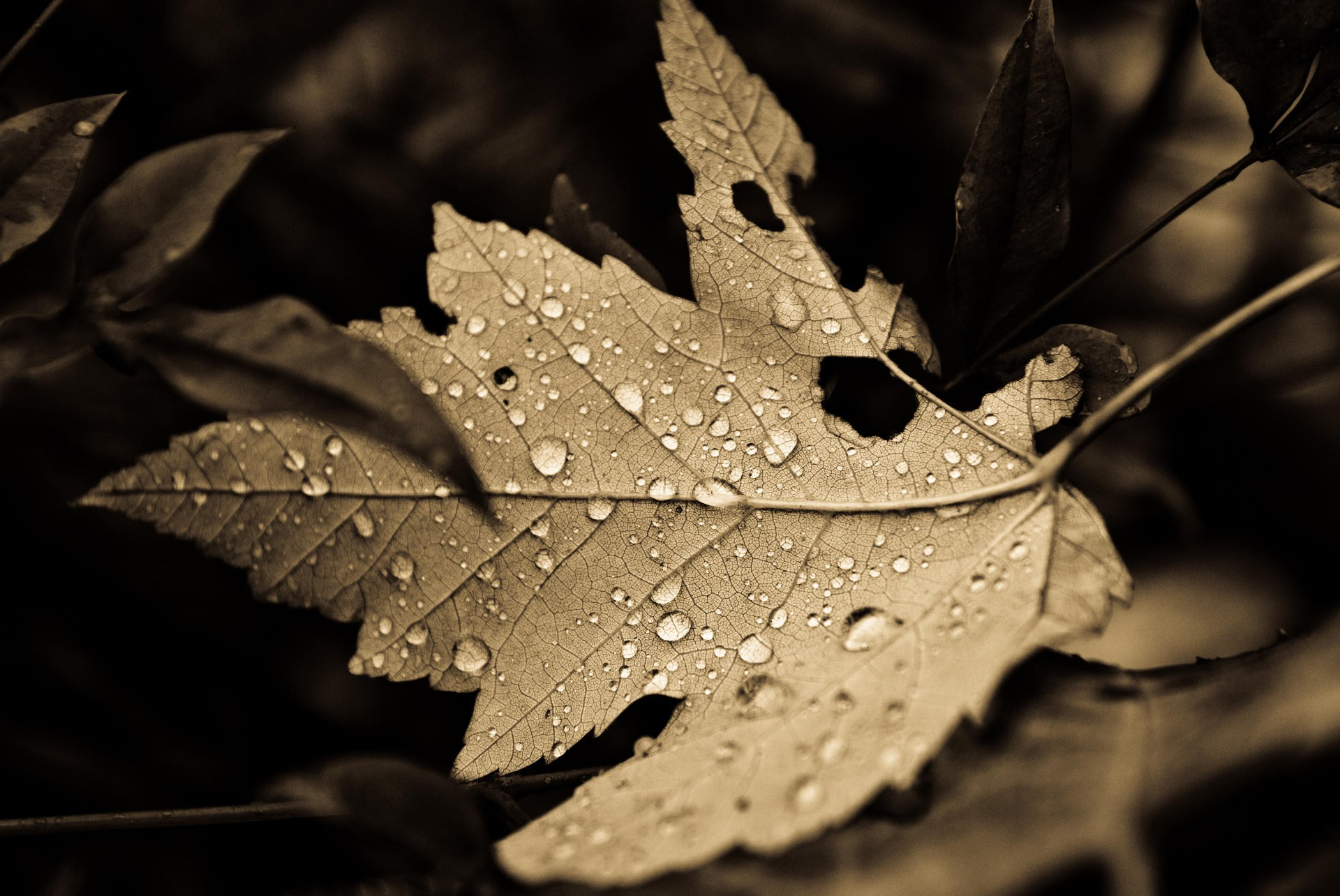3d Leaf Wallpapers For Mobile Leaves Sepia Dew Nature Wallpapers Hd Desktop And