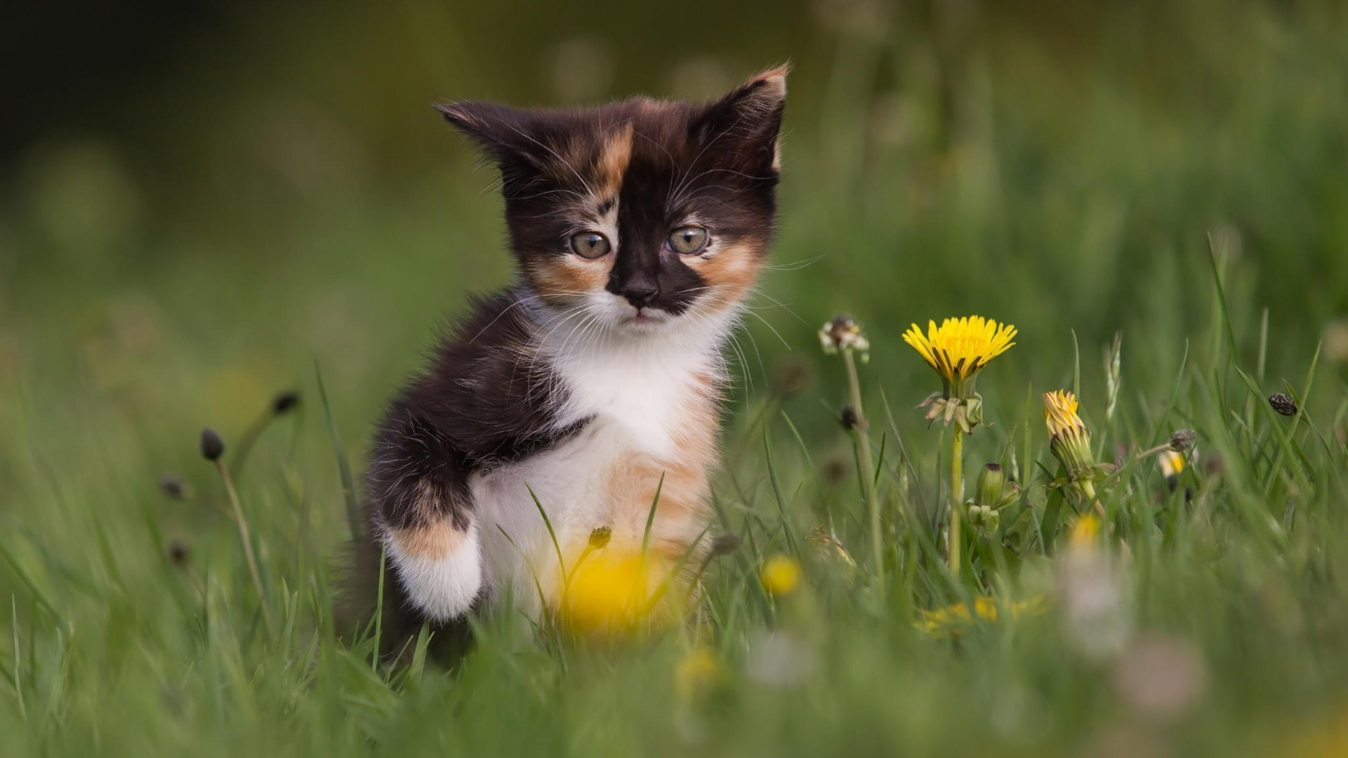 Wallpaper Hd For Desktop Full Screen Cute Baby Cat Animals Baby Animals Yellow Flowers Wallpapers Hd