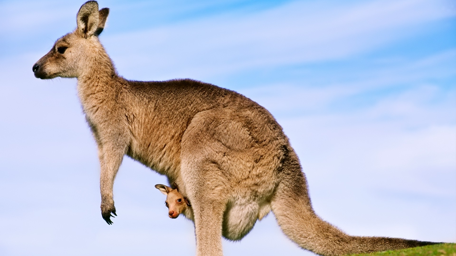 Toy Cars Wallpapers Kangaroos Joey Animals Baby Animals Wallpapers Hd