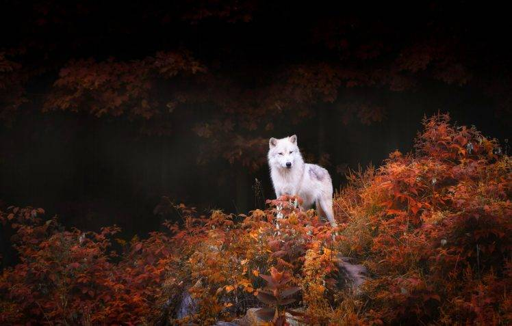 Desktop Wallpaper Pinterest Fall Nature Animals Wildlife Wolf Trees Forest Leaves