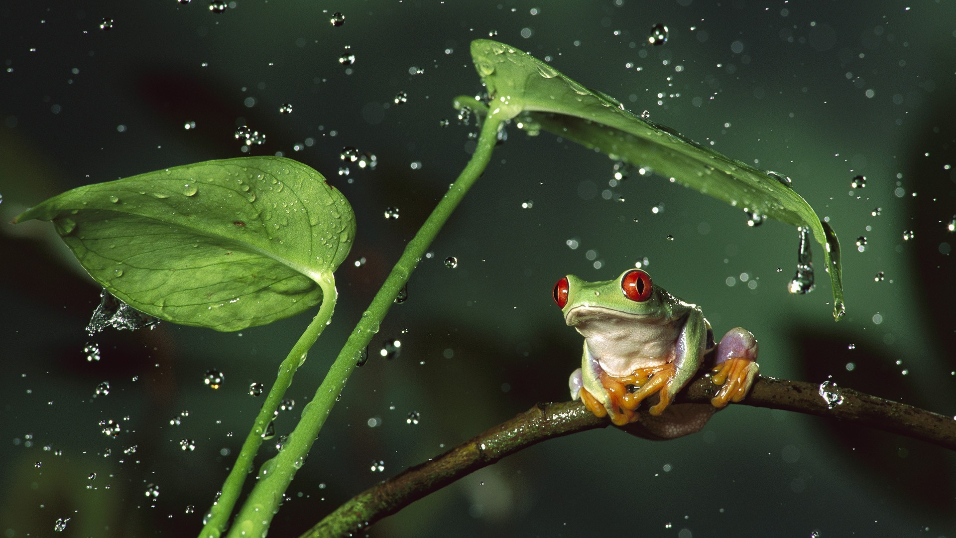 Cute Ducks In Water Wallpaper Frog Animals Nature Amphibian Red Eyed Tree Frogs